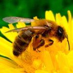 La protection des abeilles nécessaire à la sécurité alimentaire